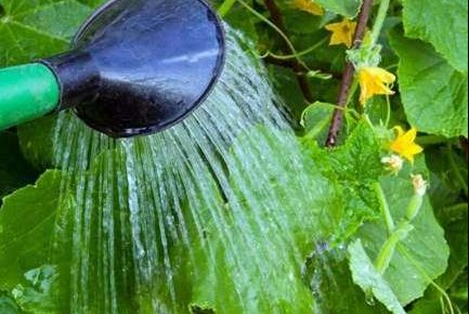 Листья лучше поливать утром или вечером