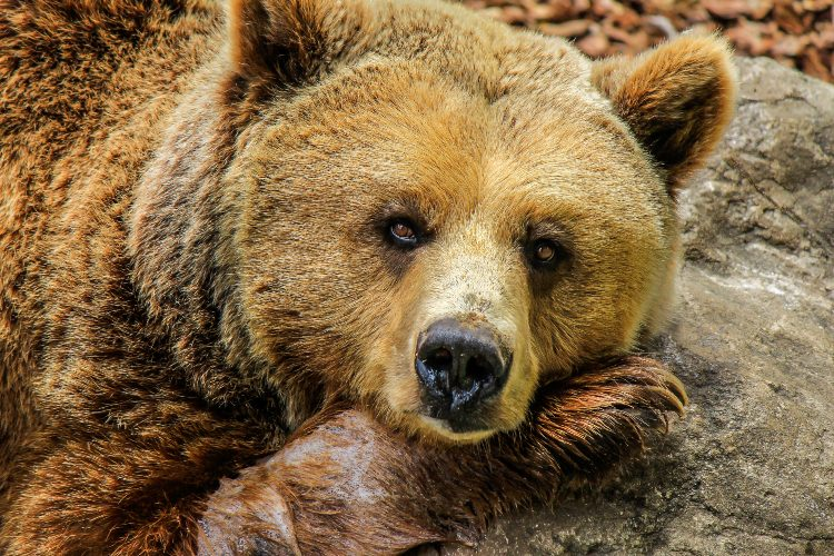 Медведь символ России