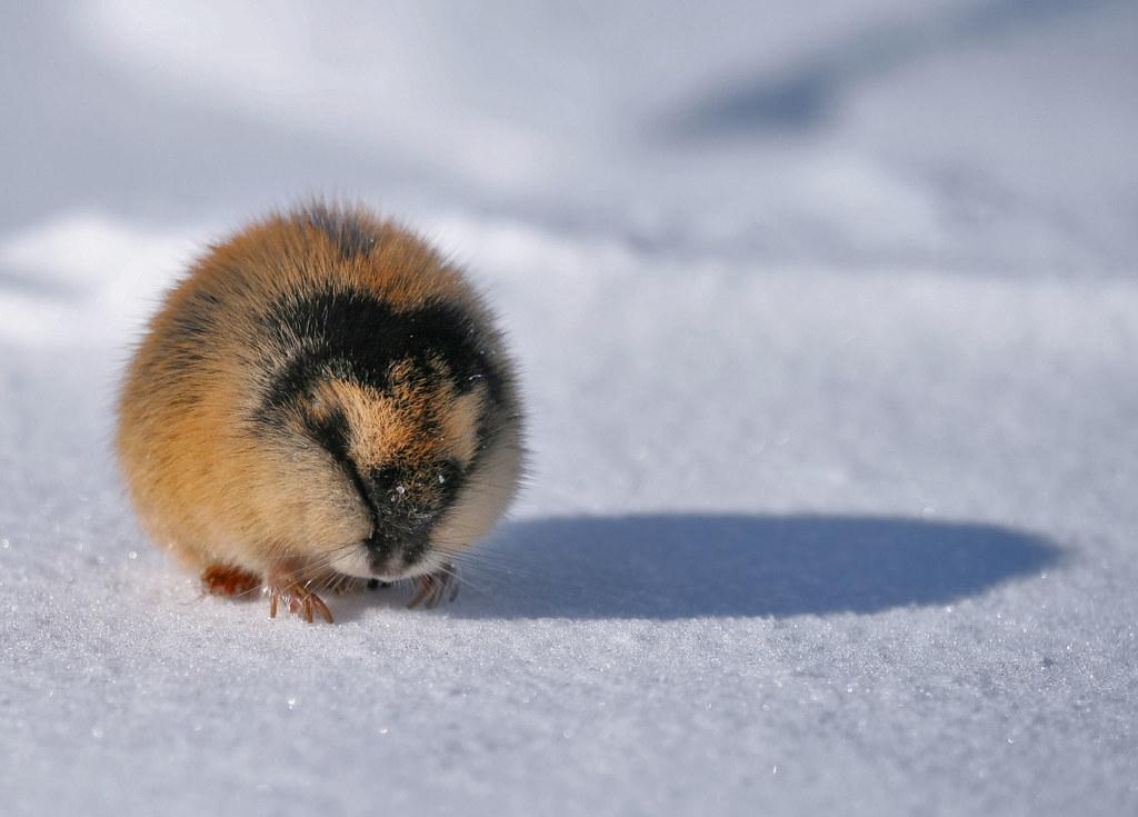 Лемминги живут в тундре и на островах Северного Ледовитого океана