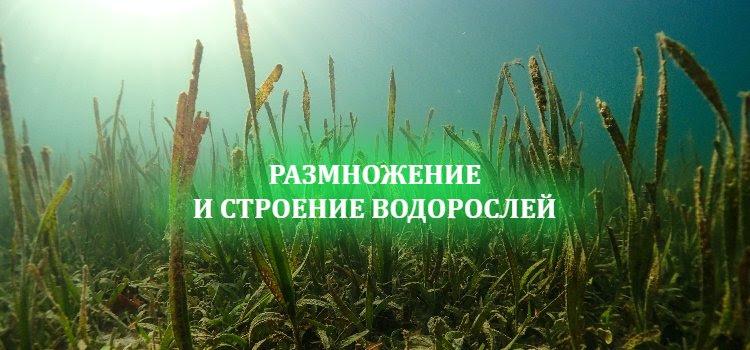 Размножение водорослей и строение водорослей