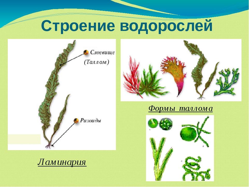 Схема строения водорослей