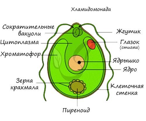 Строение хламидомонады
