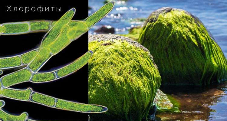Зелёные водоросли