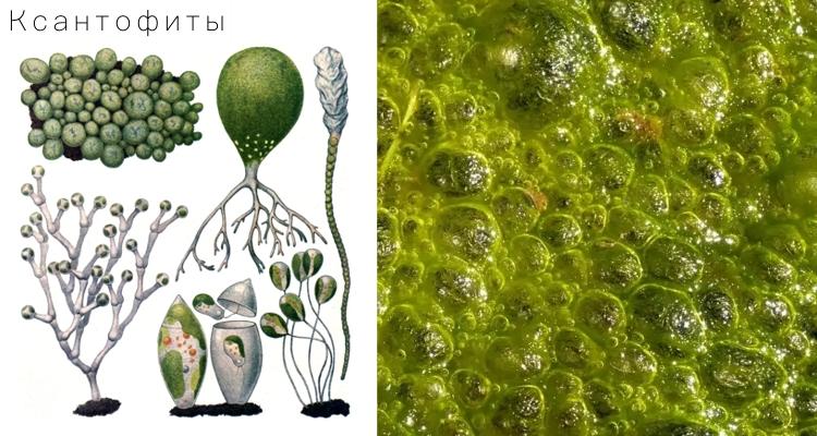 Жёлто-зелёные водоросли