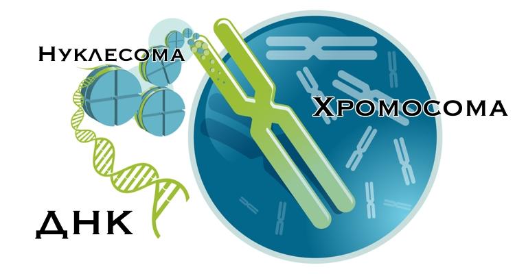 Хромосомы и ДНК