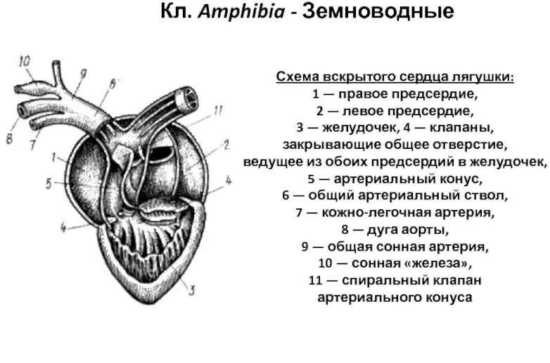 Строение сердца лягушки
