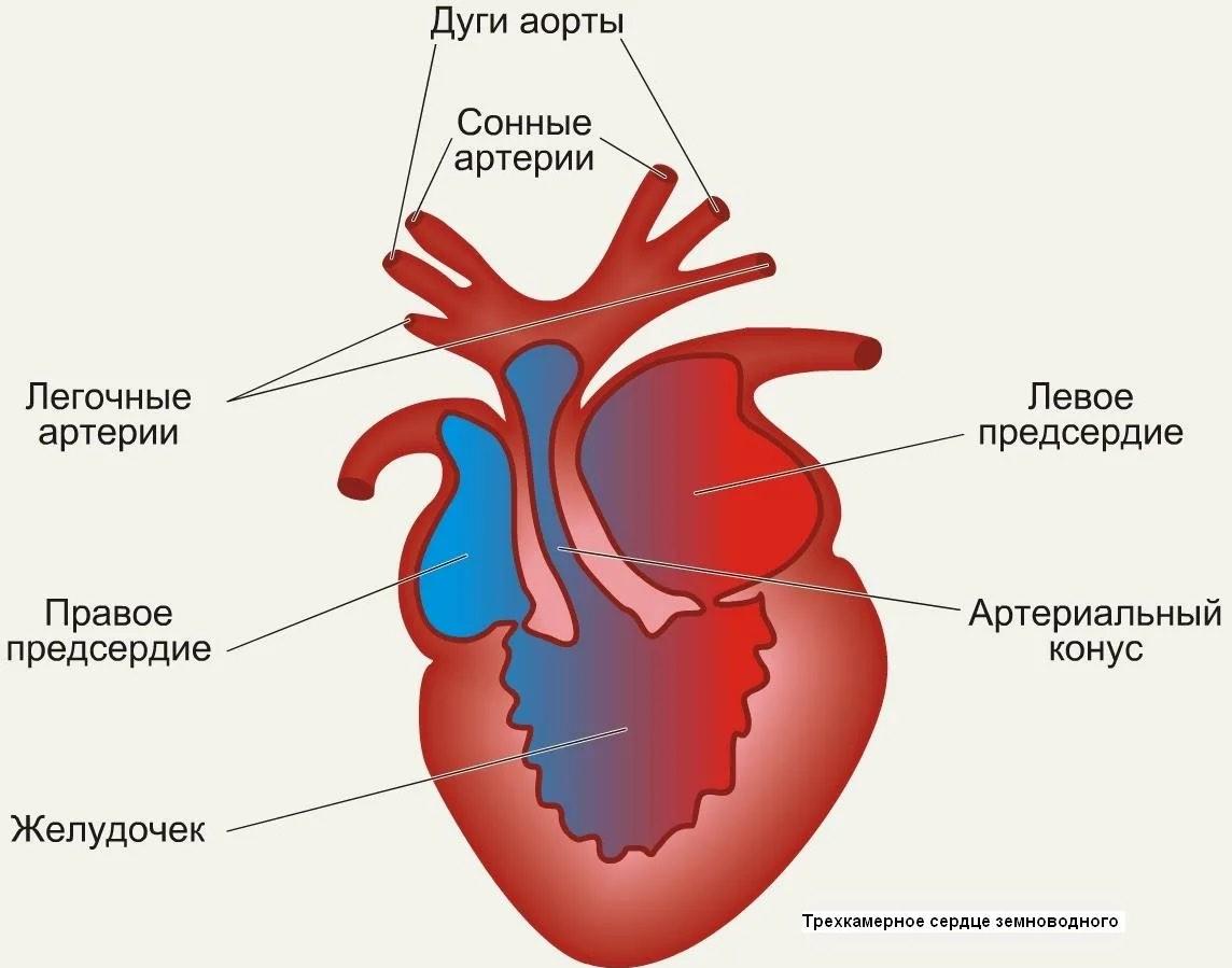 Строение сердца земноводных