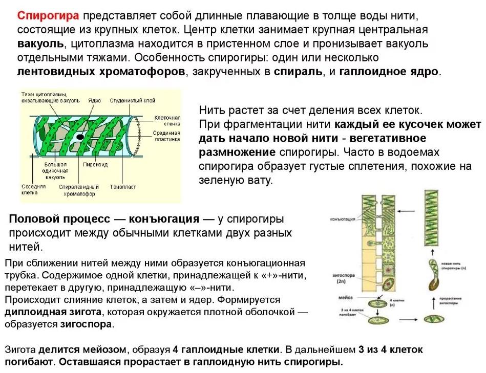 Описание размножения спирогиры кратко