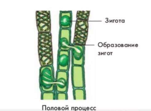 Схема размножения спирогиры