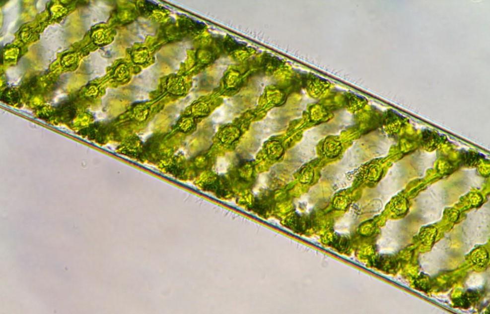 Спирогира под микроскопом